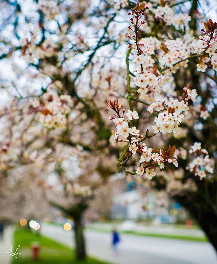Cherry blossoms have arrived at #UBC, which means spring is on the way!