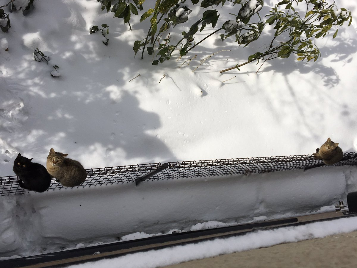 雪が冷たいのか最近よく塀の上にいる。 https://t.co/uQmlygMlbU