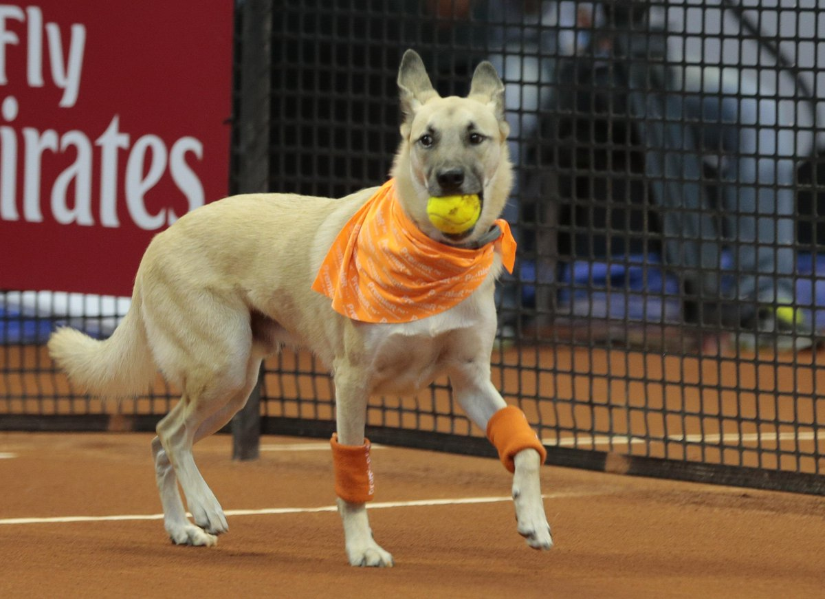 Once-abandoned dogs in Brazil trained to retrieve tennis balls in Brazil Open https://t.co/qjsfJCl3BW https://t.co/Gq7sr447Pu