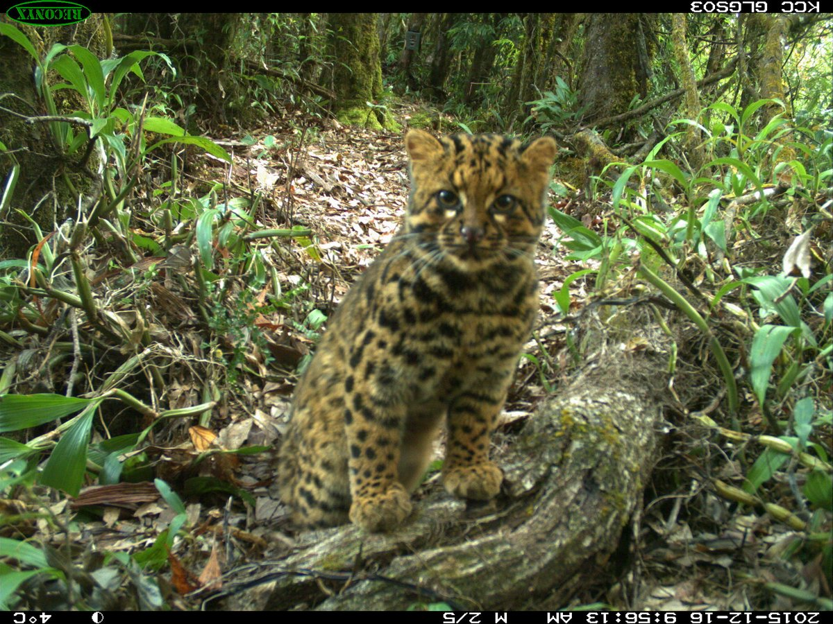 Look An Endangered Marbled Cat Spotted Again In Remote