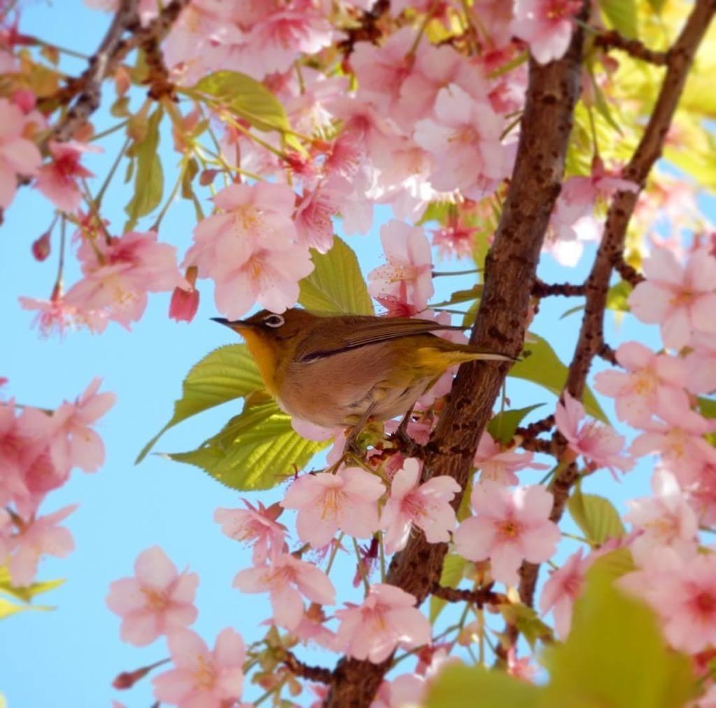 今日はヒヨドリの邪魔が入らなかったので、河津桜とメジロを撮れました♪ #team_naraku https://t.co/OBB42jcEFN https://t.co/2m23jeviAS