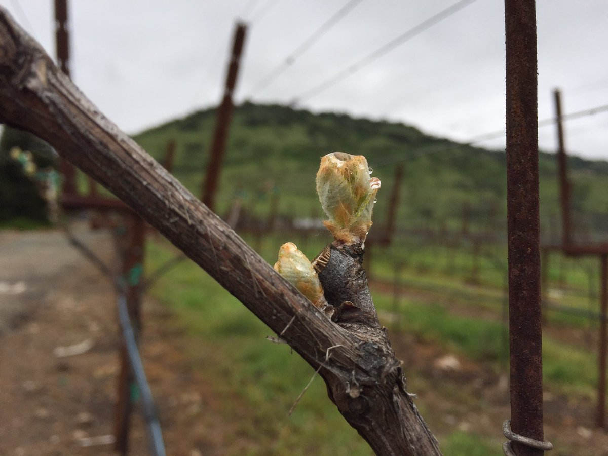 A sure sign that spring is coming, we just spotted bud break on the Viognier in our Rector Creek Vineyard! https://t.co/DfJ6s7CHAD
