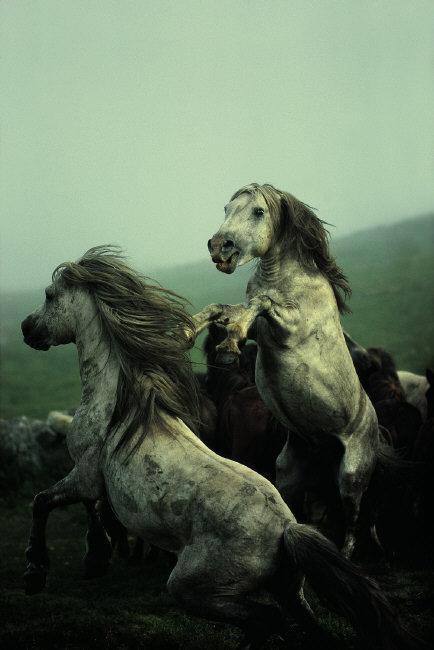Wild #horses in Galicia, Spain, 1977. #worldwildlifeday © @davidalanharvey / #MagnumPhotos https://t.co/xMnPz6EhZj