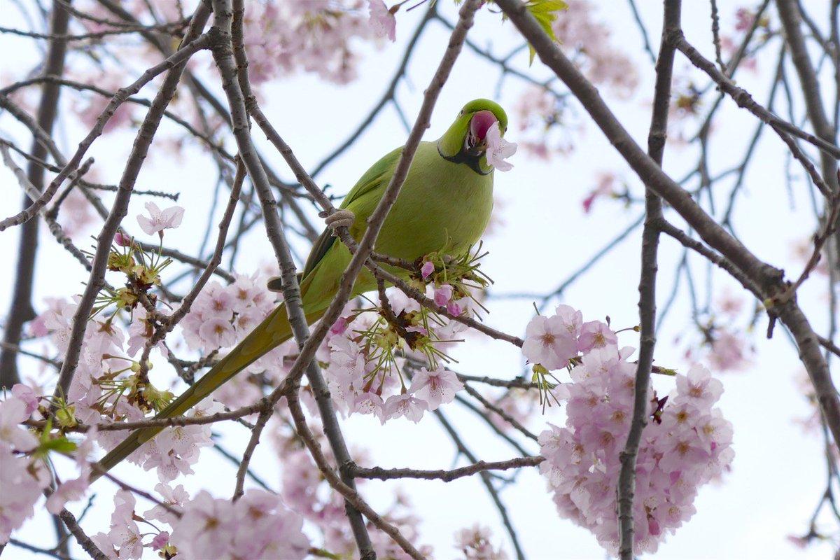 桜の花をちぎっては投げちぎっては投げの犯人発見。 https://t.co/HGikMJPzDw