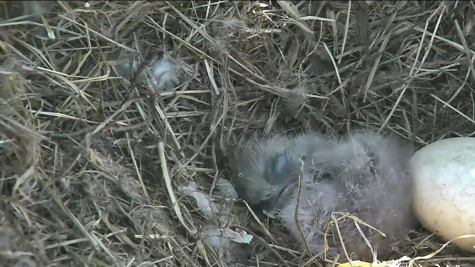 Look at this adorable little eaglet face! #DCEagleCam https://t.co/2FggaHFvxS