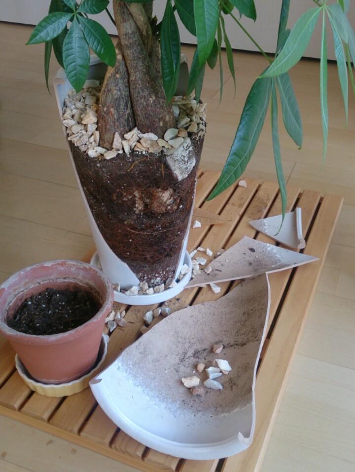 昨夜、リビングで本を読んでたら、何の前触れもなく、観葉植物の鉢がパーーーン!って割れたんだぜ… https://t.co/2NOEbP5W0I