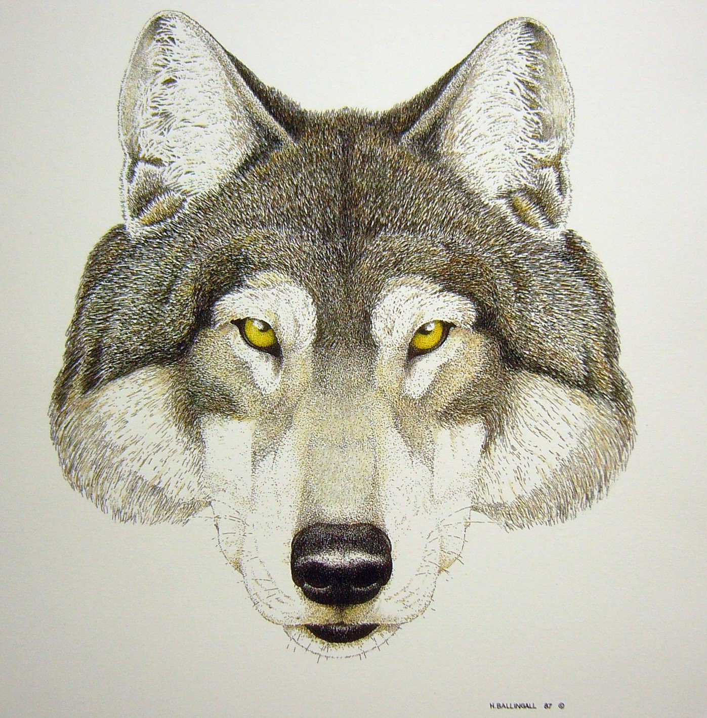 Timber Wolf  by H Ballingall  #art #wolves #wildlife pen and ink  using @STAEMars #prints #contact @TheRedFisher1 https://t.co/Kdkm1E6YrG