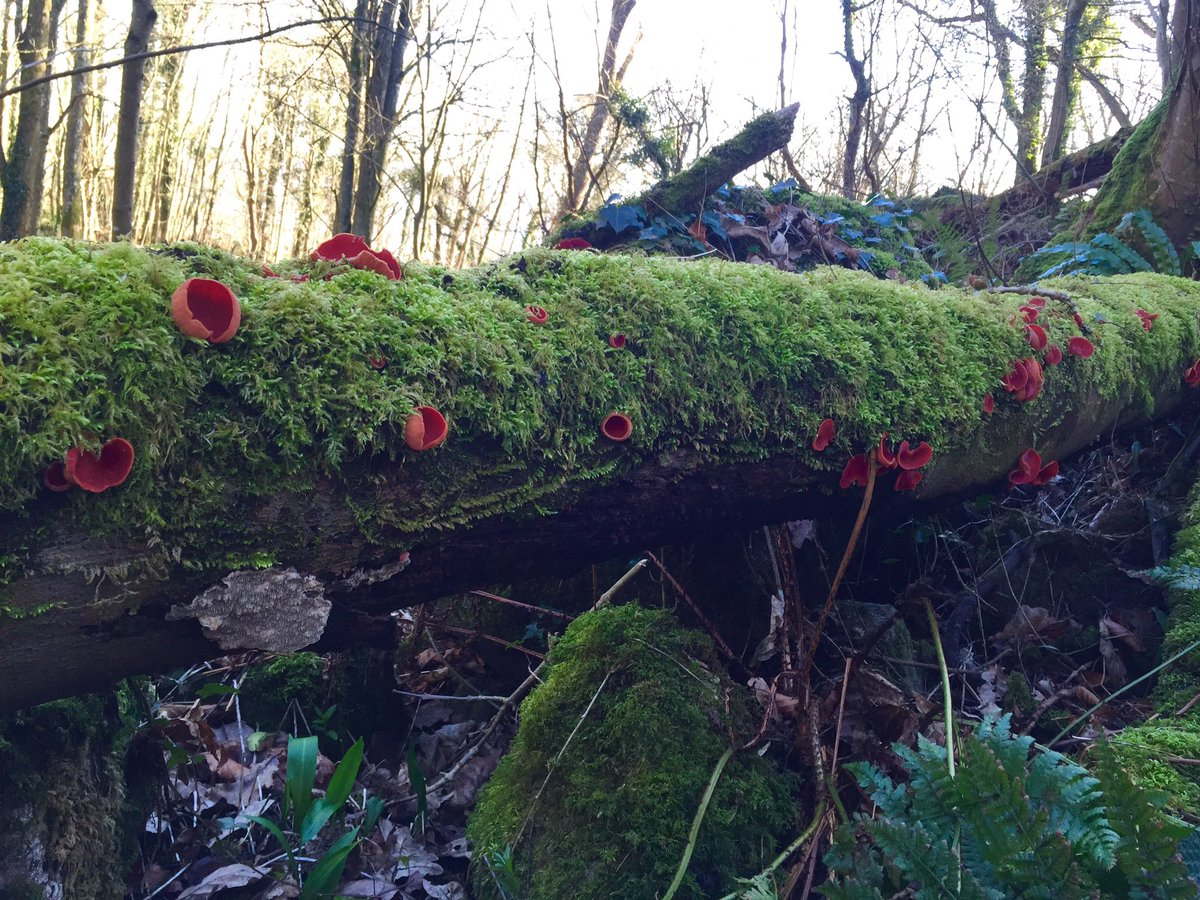 My magic elf cup log. #bumpercrop #fungi https://t.co/FsjxlYDGW6
