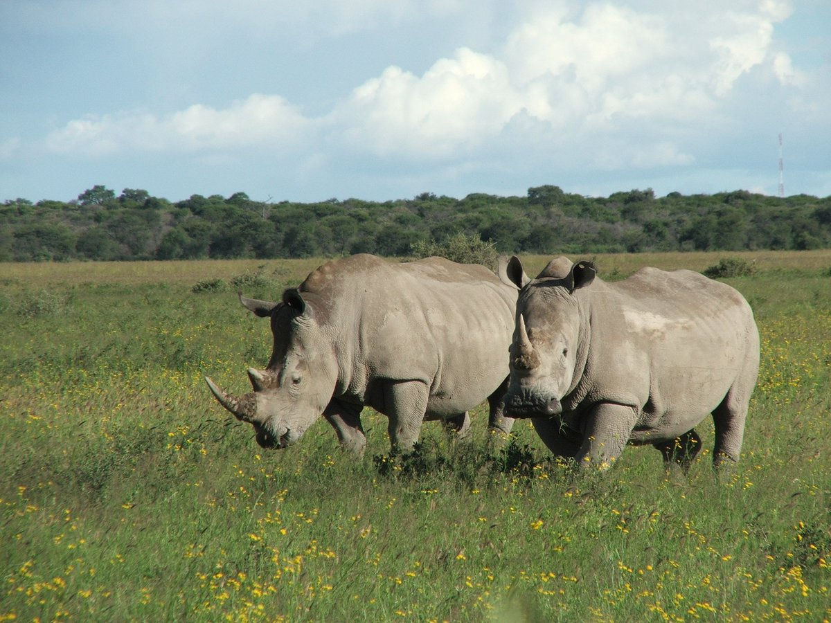 Number of African #rhinos poached has increased for 6th year in a row show new IUCN figures https://t.co/2r5wPeRKJf https://t.co/QF3dvm71nk