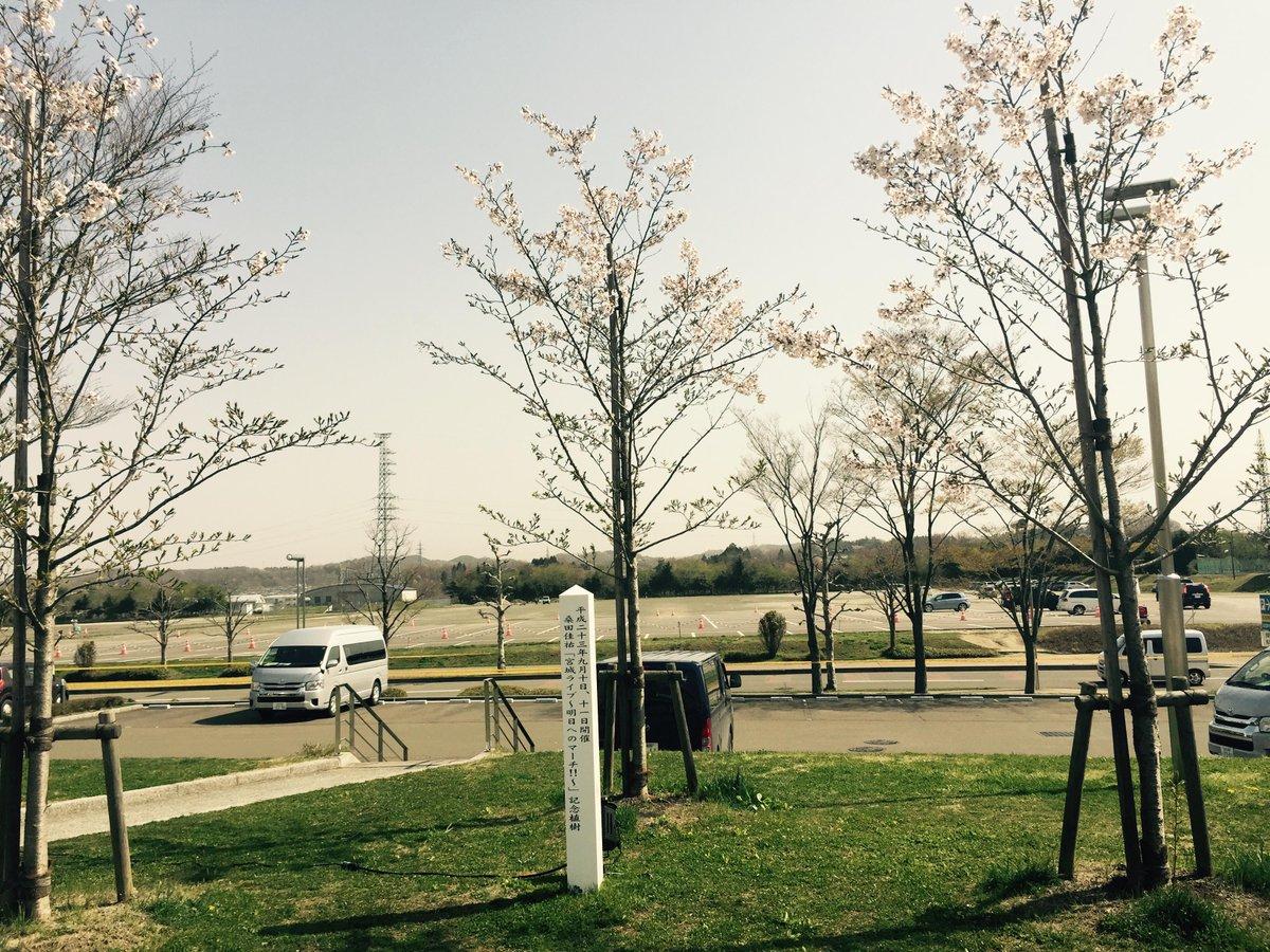 東日本大震災から5年が経ちました。桑田さん原さんが復興の願いを込めて宮城県のグランディ21に植樹した3本の桜。昨年「おいしい葡萄の旅」で訪れた際、美しい花を咲かせていました。未来への想いをのせ、今年も力強い花を咲かせることでしょう。 https://t.co/pRoJgdOxT0