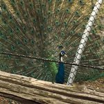 Our peacock has become a show off!!! So beautiful in his plumage  ! https://t.co/Ghok2JFVKC