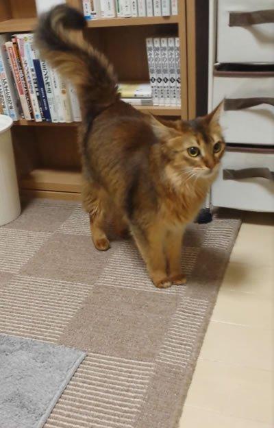 友人の猫を預かっている。私はいいけど猫は大丈夫かと聞いたが「パッション属性だから、たぶん大丈夫」と言われた。 実際にテンション高すぎて、さっきから頭突きを100回ぐらいぐらった。1回1ダメだとしても、ドラクエ序盤なら死んでいる。 https://t.co/uDR5uOz0Cv