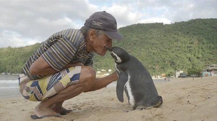命の恩人の男性に毎年8000kmも泳いで会いに来るペンギン https://t.co/naNwDFrOZY  ジョアンさんが油で覆われ瀕死だったペンギンを助けた2011年以来、毎年会いに来るそうです https://t.co/z49oig8bsQ