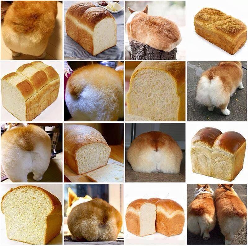 페북에서 퍼온 사진. 코기 엉덩이와 식빵의 싱크로율. 너무 귀여워. 어느 게 식빵이고 어느 게 엉덩이인지 헷갈릴 정도. https://t.co/TRoVPk8Zkh
