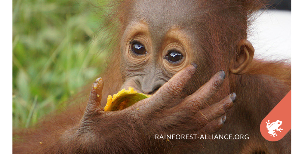 RT @RnfrstAlliance: With fewer than 7500 Sumatran orangutans in the wild, saving their forest homes is important https://t.co/NM9odK1xZu ht…