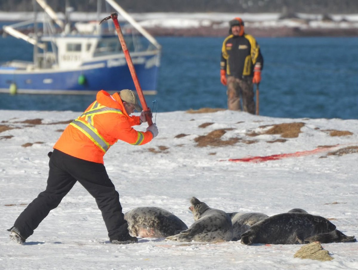 RT @QuadSeaShepherd: Canada spending Millions on Uneconomical Seal Hunt https://t.co/y8qH8hxFQ8 #sealhunt https://t.co/6iixHSH2fn