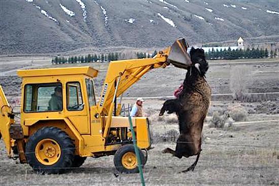 Yellowstone Begins Bison Capture - Native News Online https://t.co/3KAj9E6JBf @peta https://t.co/v1hxqN0two