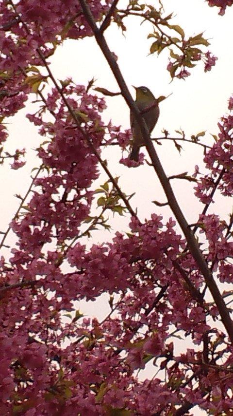 @ygjumi お久しぶりです。 このところ色々忙しくて落ち着いてTwitter見る時間が少なくて^^。 お見かけしたらお見せしようと思ってたの♪ 花は河津桜です。 近所の公園で~。 https://t.co/oUhXGRLbiO