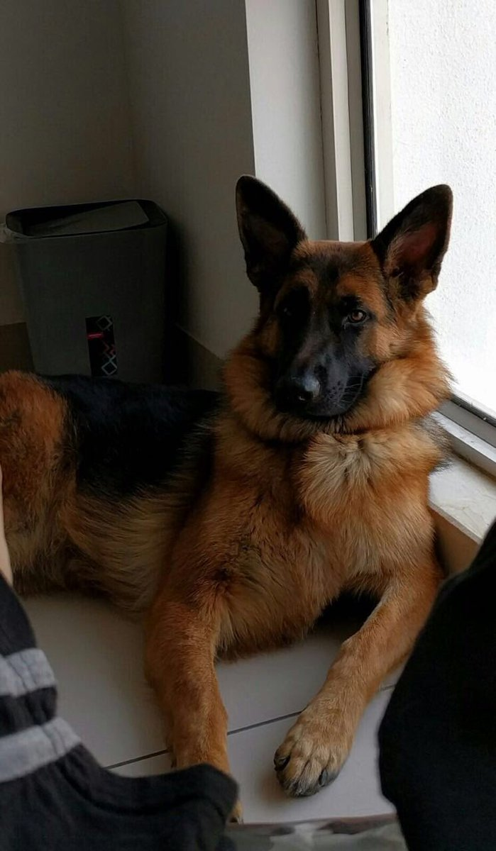 Her name is June. German Shepherd. 12 months. Trained. Used to kids. For adoption. Pliss to RT. #pune https://t.co/aU0da6ueBi
