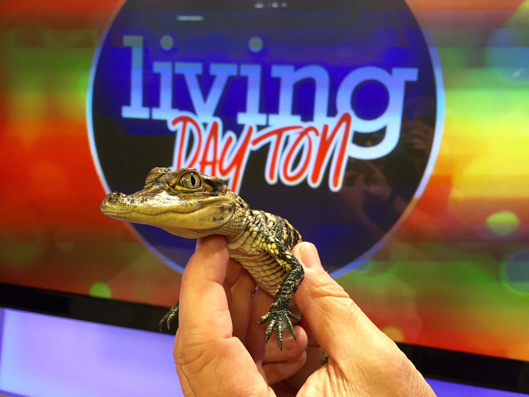 Smile for the camera - DYK an #alligator goes through 3,000 teeth in a lifetime #DiscovertheWonder @livingdaytontv https://t.co/dMydTwpetp
