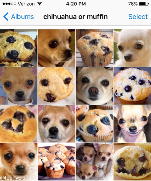 Love this meme from @teenybiscuit! Chihuahua or Muffin? https://t.co/HiJBcEPNVr