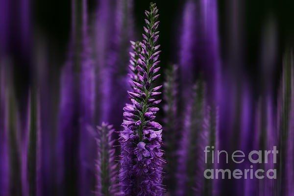 """New artwork for sale! - """"Midnight in Purple"""" - https://t.co/Jvom4ar7DJ @fineartamerica https://t.co/r5gBpIjMg7"""