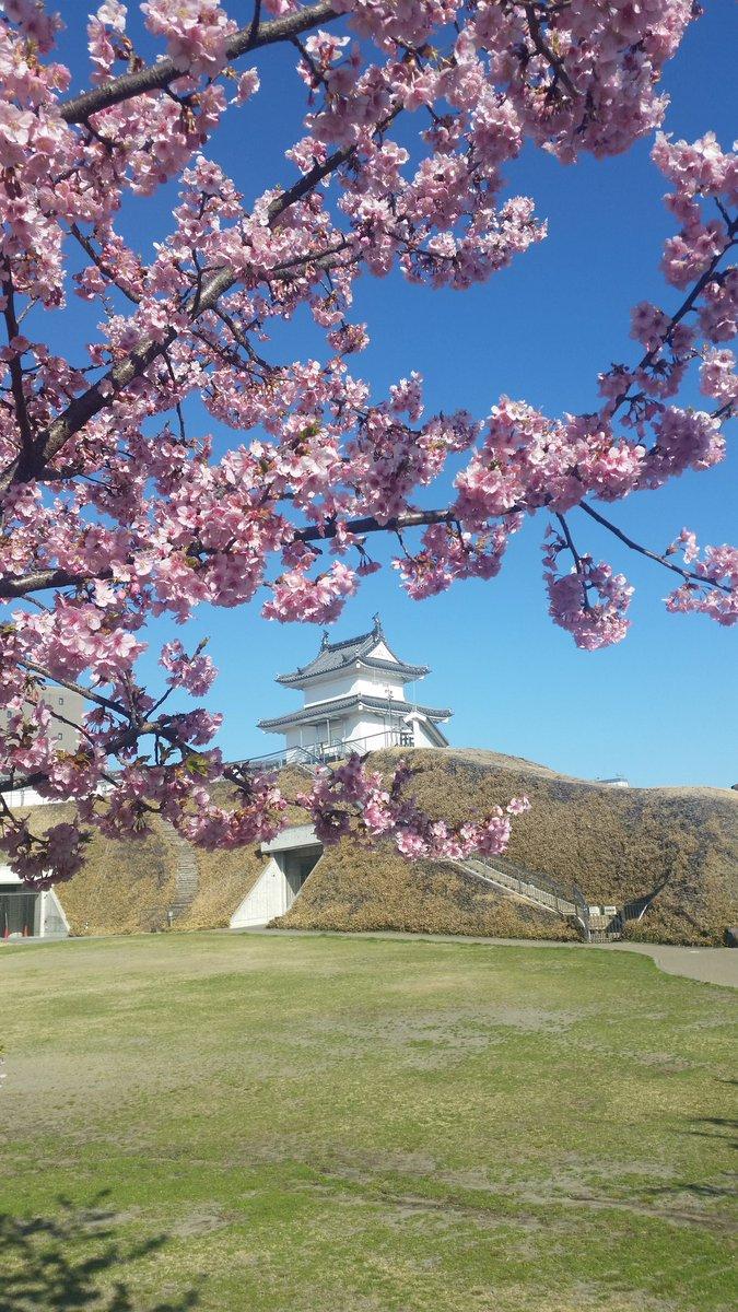 宇都宮城址公園の河津桜が満開です。 #宇都宮 https://t.co/YyxM2JH0cE