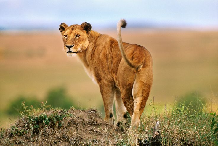 ALERT! Incoming reports of a lioness on the loose on Mombasa Rd near the Cabanas footbridge! @kwskenya @Ma3Route https://t.co/AiZTt4W3FO