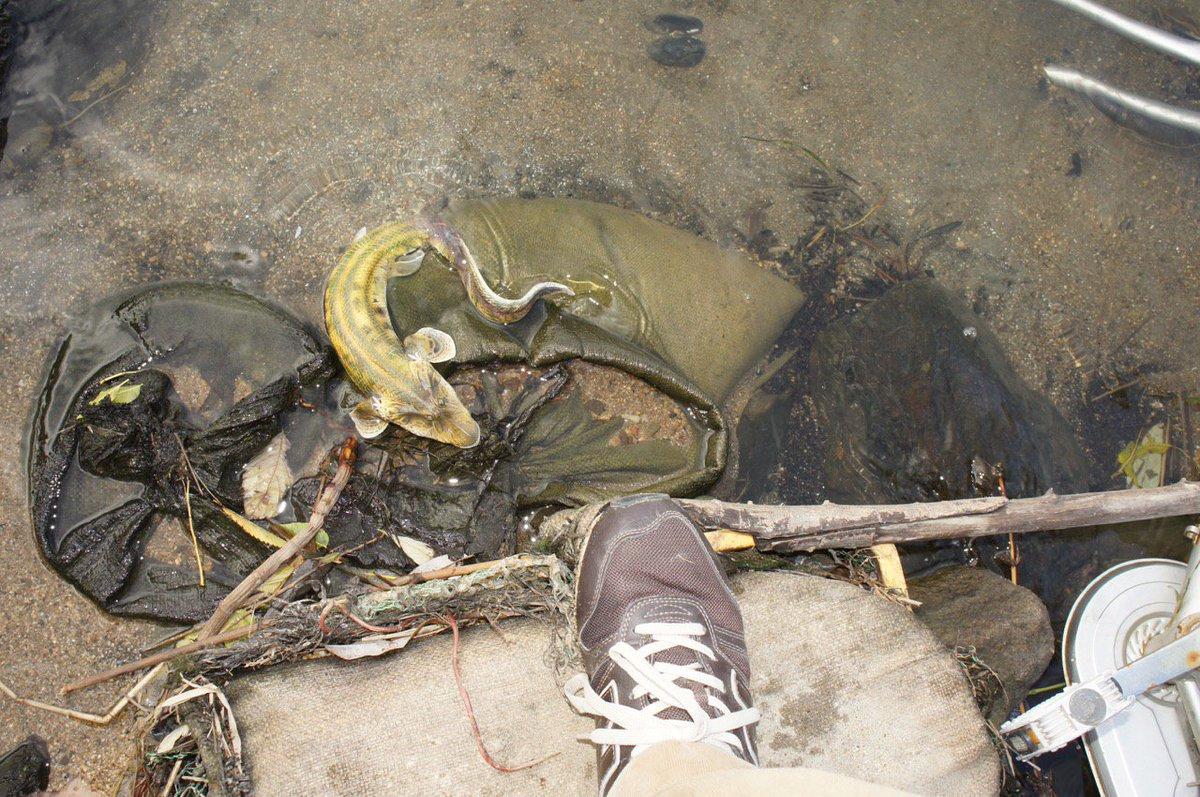 足元に気配を感じ見下ろすと、魚ともサンショウウオともつかない生物が這い出るところであった。淀川にて。 We found it at the Yodogawa riverbank in Japan. 2013.12.7. part3 https://t.co/gfelZfzukj