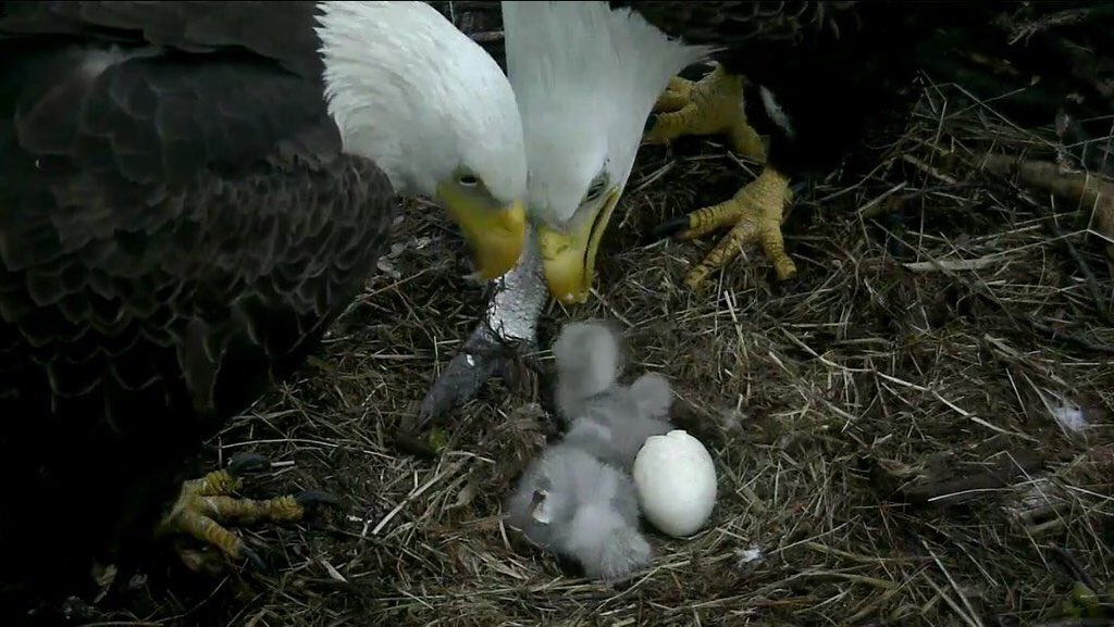 It's official, DC has two eaglets! #dceaglecam (Photo: @joeyklewis) https://t.co/LgPlmVqmqt https://t.co/aVT1TZX8od