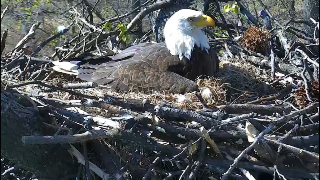 Now welcoming eaglet #2 to Washington just in time for the 1st day of spring!