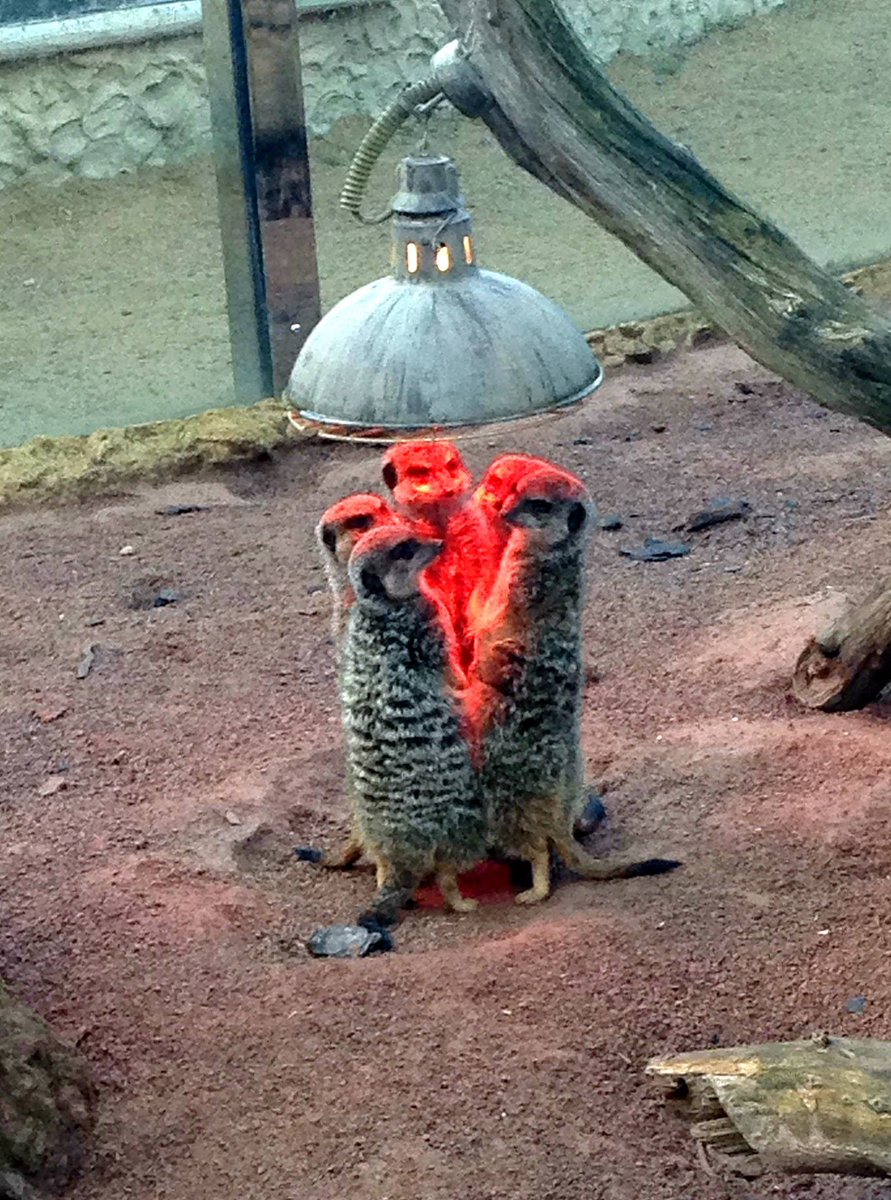 it me  Meerkats gather around a heatlamp to summon Satan. https://t.co/ObfITYJCwA