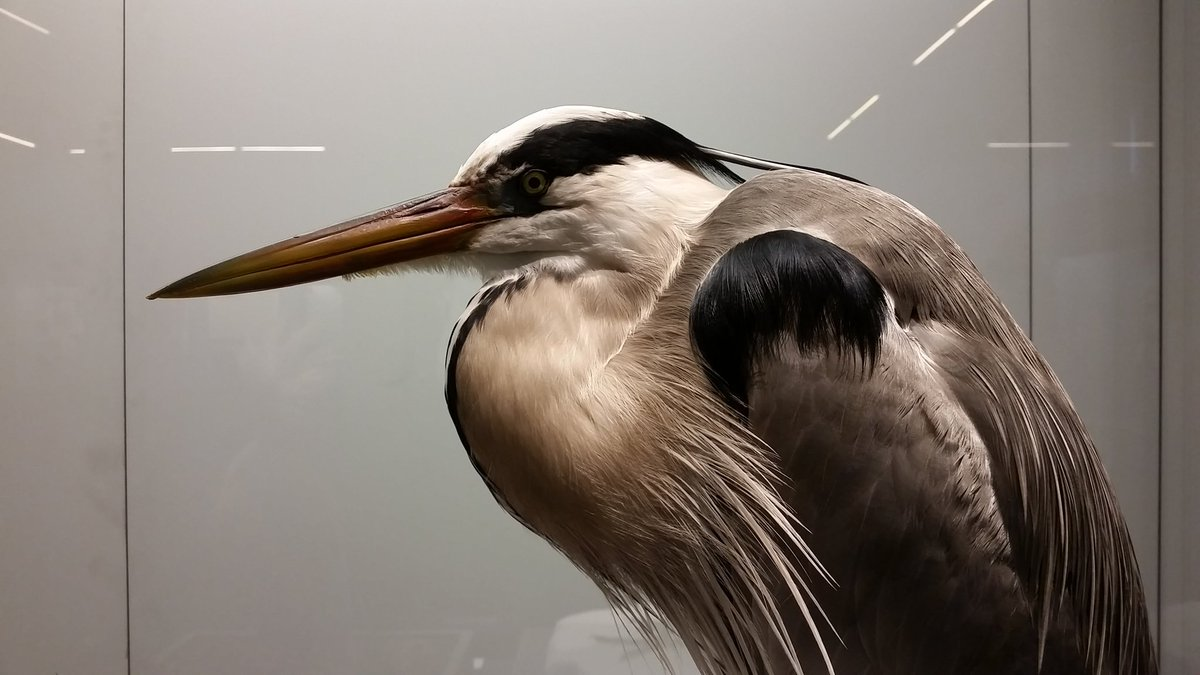 Hunchy McStabbyface #TheInternetNamesAnimals #heron https://t.co/AVENrpNOLs
