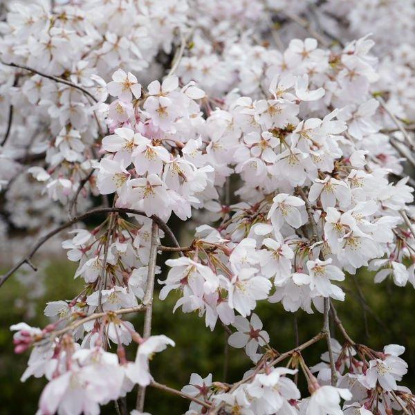 京都御苑・近衞邸跡の枝垂れ桜が見頃です。本日もたくさんの人で賑わっていました。 https://t.co/QiSLS0J9r4 #kbs_sakura https://t.co/LTXTRxfls6