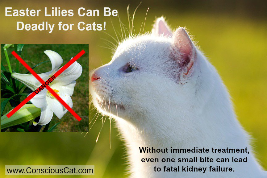 #Easter Lilies are Deadly to #Cats https://t.co/V9VfZrnm7d