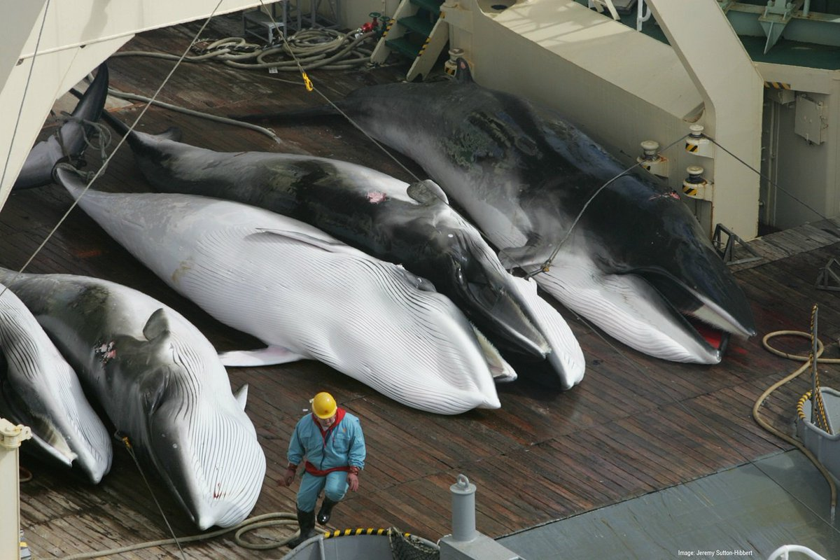 333 #whales inc. 200 pregnant ♀ slaughtered in Japan's latest #whaling mission. Petition: https://t.co/axOv2ZD1rj https://t.co/erBjiVHdcF