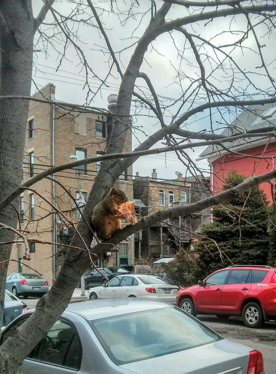 Chicago's own pizza rodent: pizza squirrel https://t.co/SskmDgJoXo