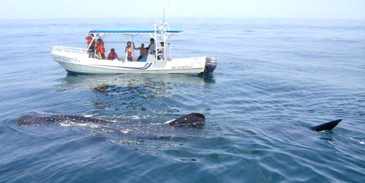 Al igual que #IslaMujeres, #Holbox recibe cada año entre mayo a octubre al #TiburónBallena https://t.co/ATWOooNgkh