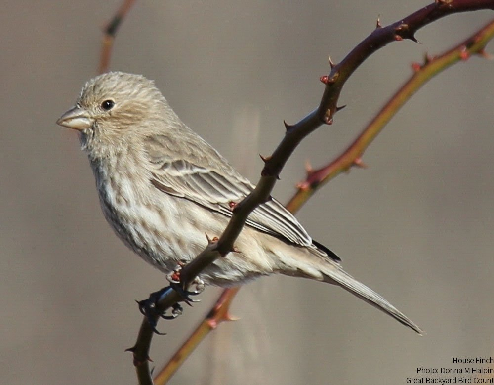 #BirdieSanders is a female House Finch. Learn more about this bird: https://t.co/uTltjNJgb2 https://t.co/CfDc0RMiTe