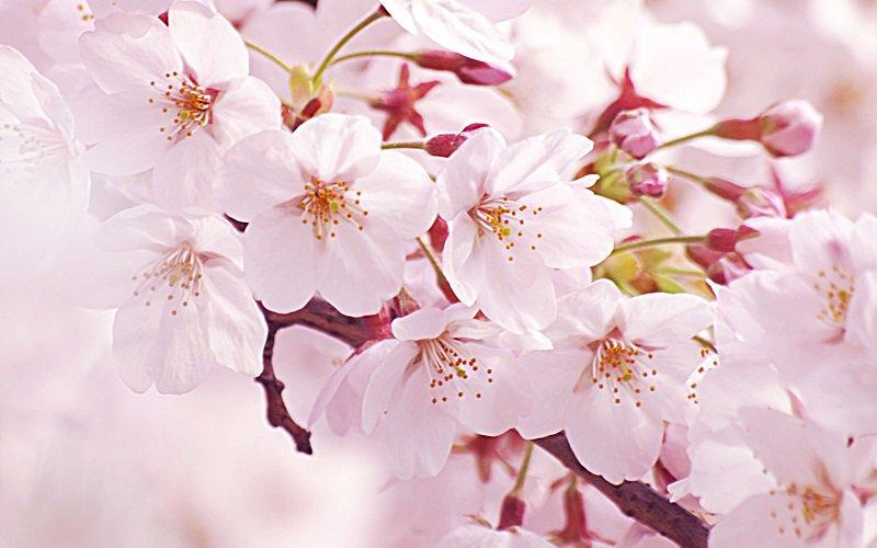 おはようございます!なんでも今日は、日本さくらの会が1992年に制定。3×9(さくら)=27の語呂合せと、七十二候のひとつで「桜始開(さくらはじめてひらく)」が重なる時期であることからさくらの日とか。Have a nice day! https://t.co/5xlrZkvnOc