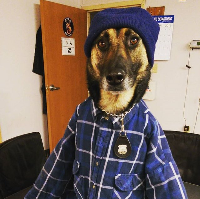 Brooklyn be careful, @k9timoshenko is working undercover tonight. @NYPDnews @NYPDSpecialops https://t.co/QvwbVbO8dT