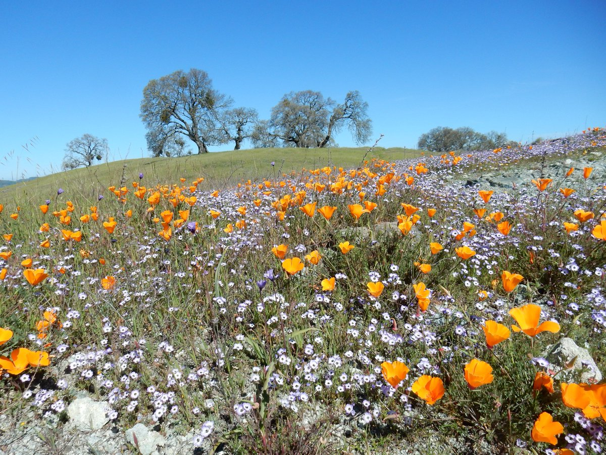 Awesome! RT @s1robparker: The wildflowers are going crazy in Henry Coe SP.   Poppies, gilia, and creamcups! https://t.co/L9gM3BlxJd