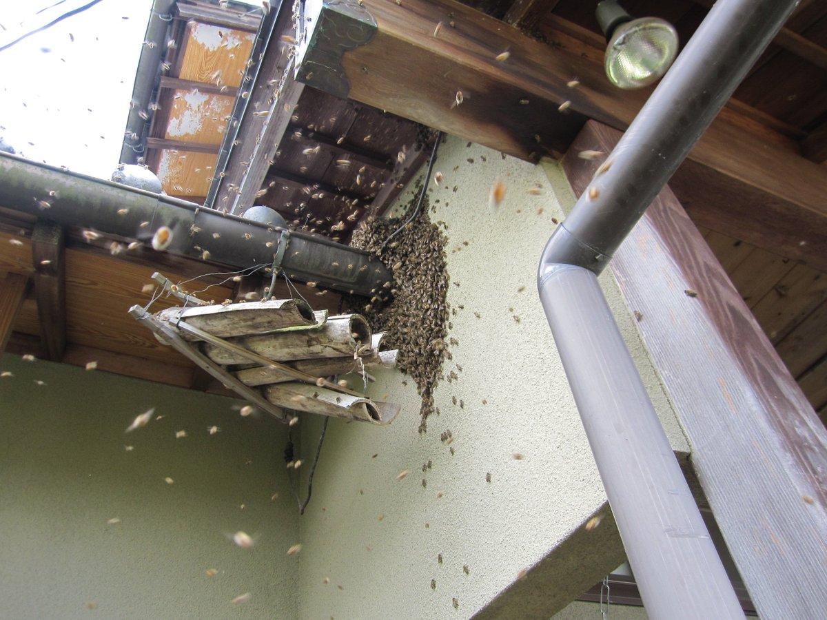 【拡散希望】春、ミツバチが分蜂して、軒先等に「蜂玉」を作ることがあります。沢山のミツバチが飛ぶ様は怖いですが、分蜂時のミツバチは滅多に人を刺さず、放っておけば必ずどこかへ去って行きます。決して殺虫剤などで駆除されないようお願いします https://t.co/yJn4qtCkn2