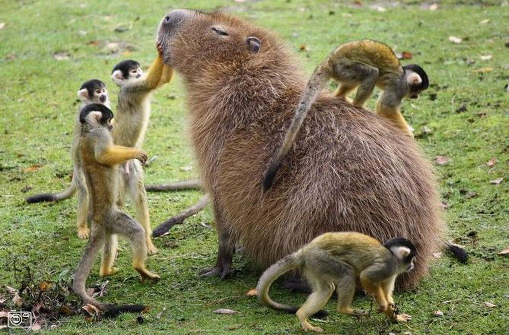 what's up with capybaras chilling with other animals https://t.co/sLzqpTKlxs