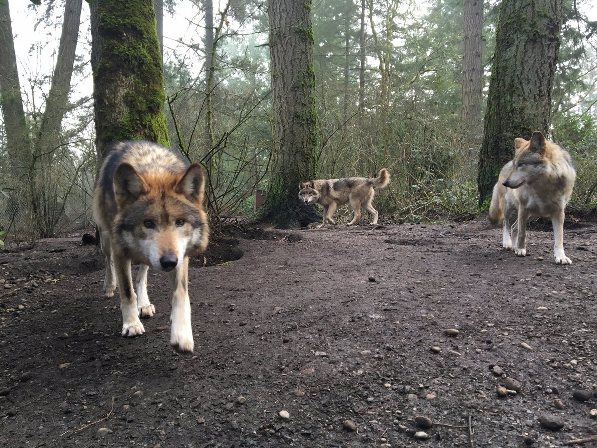 #LoboWeek Mexican wolves M1066 (Moss) left & F1199 (Betty) right  w/pup (center), born last year at Wolf Haven. https://t.co/SH0PC3ABkI