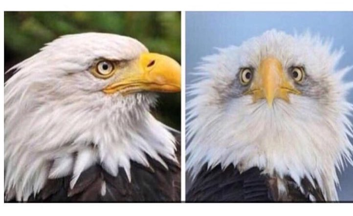 I finally understand why American bald eagles are always photographed from the side