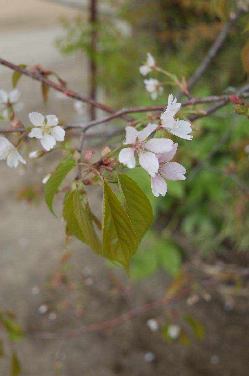 先日、北野天満宮で見つかった新種の桜 https://t.co/6Z1XqffHDD 樹齢百年を超えて新種と判明って面白いねえ。大変に京都らしい。可憐な山桜だけど樹は妖怪じみてた。花期はこれから。 #誰も知らない京都の桜 https://t.co/pRBxoFdic4