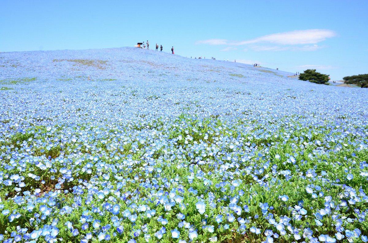 気持ちの良い春風が吹き抜ける「みはらしの丘」では、約450万本のネモフィラが見頃を迎えました。 今年は暖冬の影響で、例年より2週間ほど開花が進んでおり、見頃は4月中旬~下旬頃の予想。お早目のご来園がお勧めです! https://t.co/wG0GL3aRr7