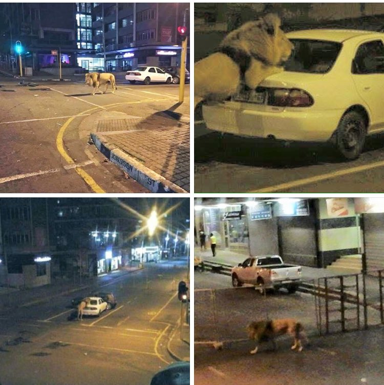 So there was a lion roaming the streets of Jhb last night. Photo cred to my pal Irvaan https://t.co/w2lDzRiOZj