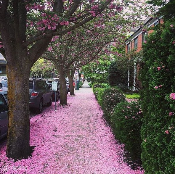 You could say that Portland is pretty in pink right now! (Photo: miasek - Instagram) #PDX #PDXNOW #Spring https://t.co/VzG36OynOe
